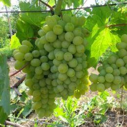 Виноград Кишмиш Хімрод фото