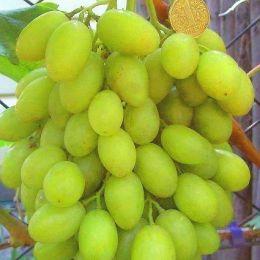 Виноград Ілларія фото