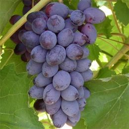 Виноград Кишмиш Юпітер фото