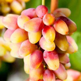 Виноград Розалінда фото