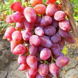 Виноград Румба фото