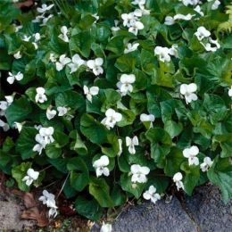 Віола Albiflora фото