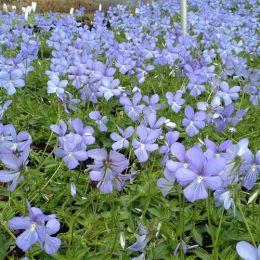 Віола Boughton Blue фото