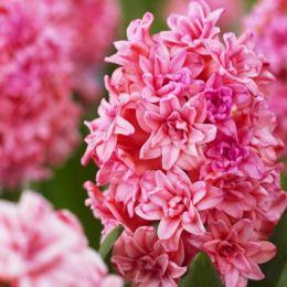 Гіацинт Махровий Spring Beauty фото