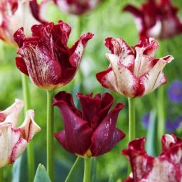 Тюльпан Striped Crown фото