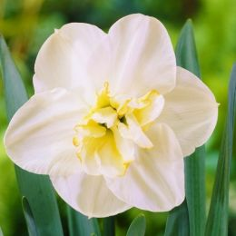 Нарцис Papillon Blanc фото