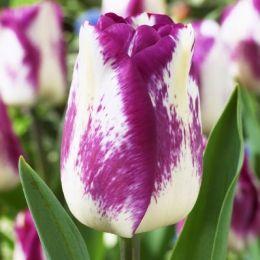 Тюльпан Shirley Dream фото