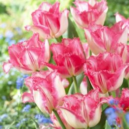 Тюльпан Lingerie фото