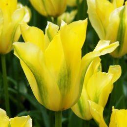 Тюльпан Yellow Springgreen фото