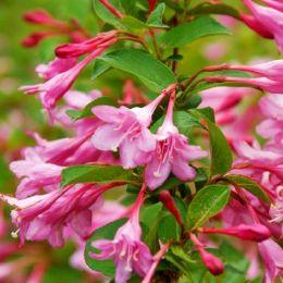 Вейгела Pink Princess фото