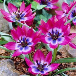 Тюльпан Little Beauty 30 шт/уп фото