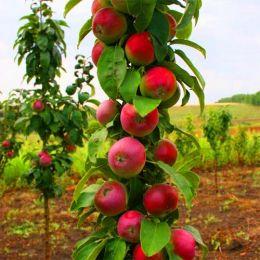 Яблуня колоновидна Арбат фото