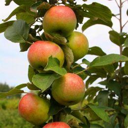Яблуня колоновидна Останкіно фото