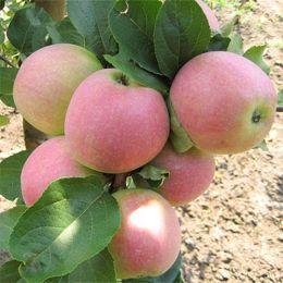 Яблуня Слава Переможцям фото