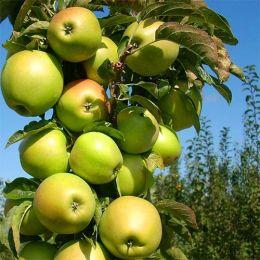 Яблуня колоновидна Трайдент фото