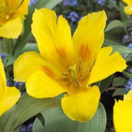 Тюльпан Yellow Compostella 30 шт/уп фото