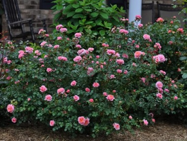 Роза Pirouette купить онлайн
