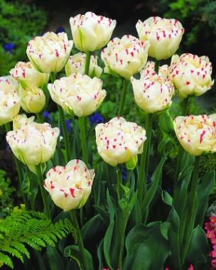 Тюльпан Danceline  фото цена