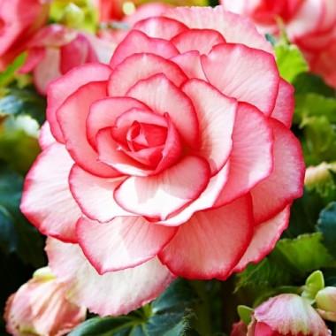 Бегония Bouton de Rose фото