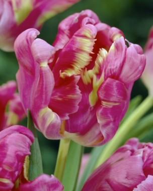 Тюльпан Rai почтой
