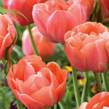Тюльпан Menton Exotic фото