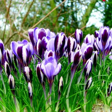 Крокус Spring Beauty фото цена