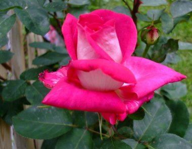 Роза Acapella  фото цена