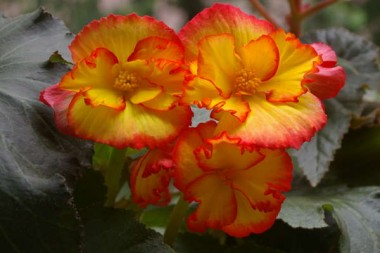 Бегония Crispa Marginata жёлто-красная фото