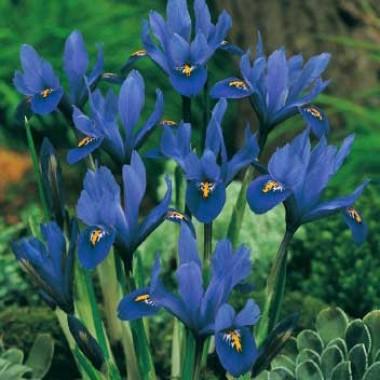 Ирис reticulata фото цена