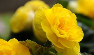 Бегония Multiflora Maxima жёлтая описание