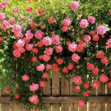 Роза Pink Ocean фото