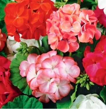 Семена комнатных цветов купить