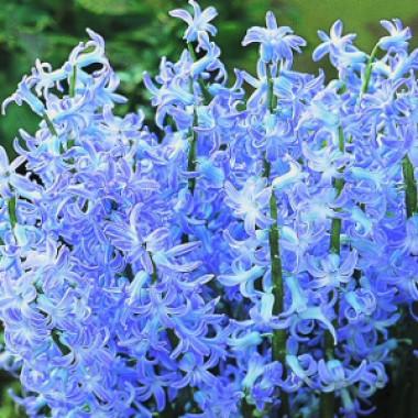Гиацинт Blue Festival  смотреть