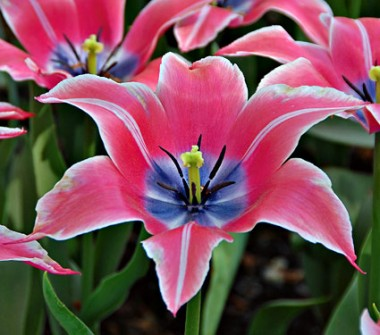 Тюльпан Yonina фото цена