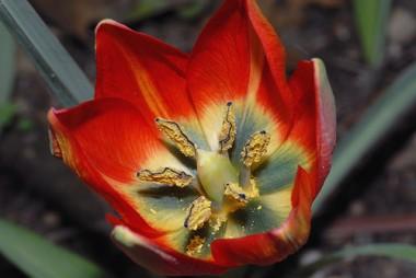 Тюльпан Hageri  почтой