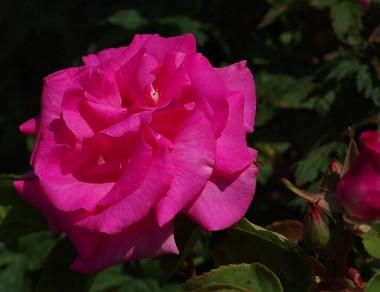 Роза Zephrine Drouhin фото цена
