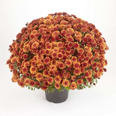 Хризантема Katelli фото цена