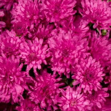 Хризантема Molica фото цена