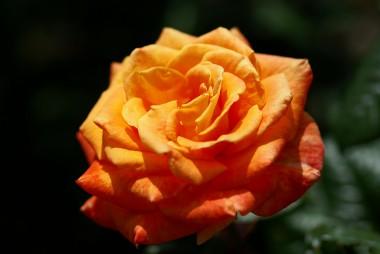 Роза Flora Danica описание