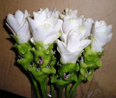 Куркума White Wonder фото цена