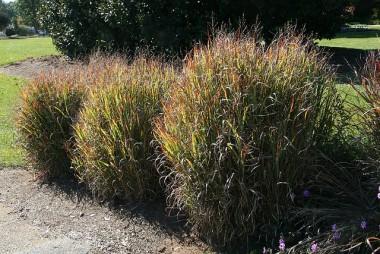 Декоративная трава купить
