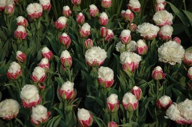Тюльпан Ice Cream купить онлайн