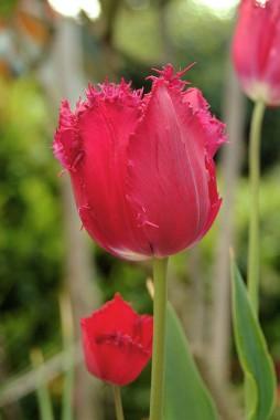 Тюльпан Gipsy Love в киеве