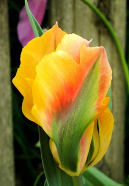 Тюльпан Golden Artist фото