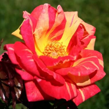 Роза Caribia описание