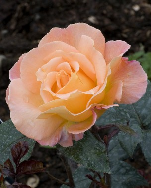 Роза Rosemary Harkness интернет-магазин