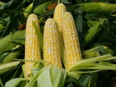 Кукуруза Сахарная Спирит F1 фото
