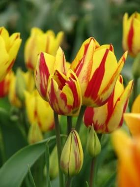 Тюльпан Сolour Spectacle  описание