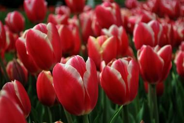 Тюльпан Pirand смотреть