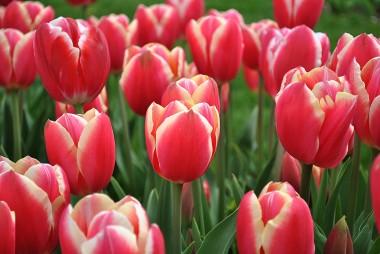 Тюльпан Pirand фото цена